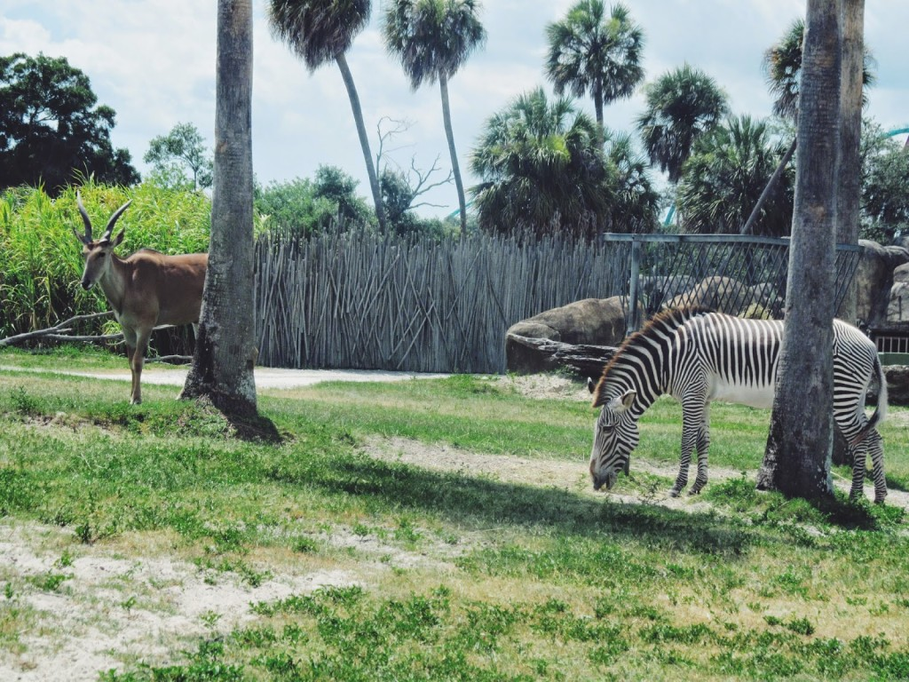Zebras Busch Gardens