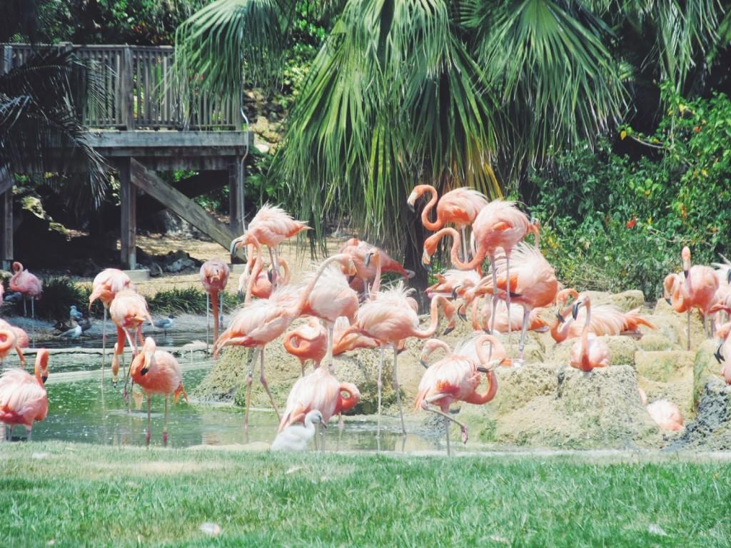 Busch Gardens Flamingo