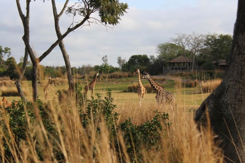 Disney World Animal Kingdom Giraffe
