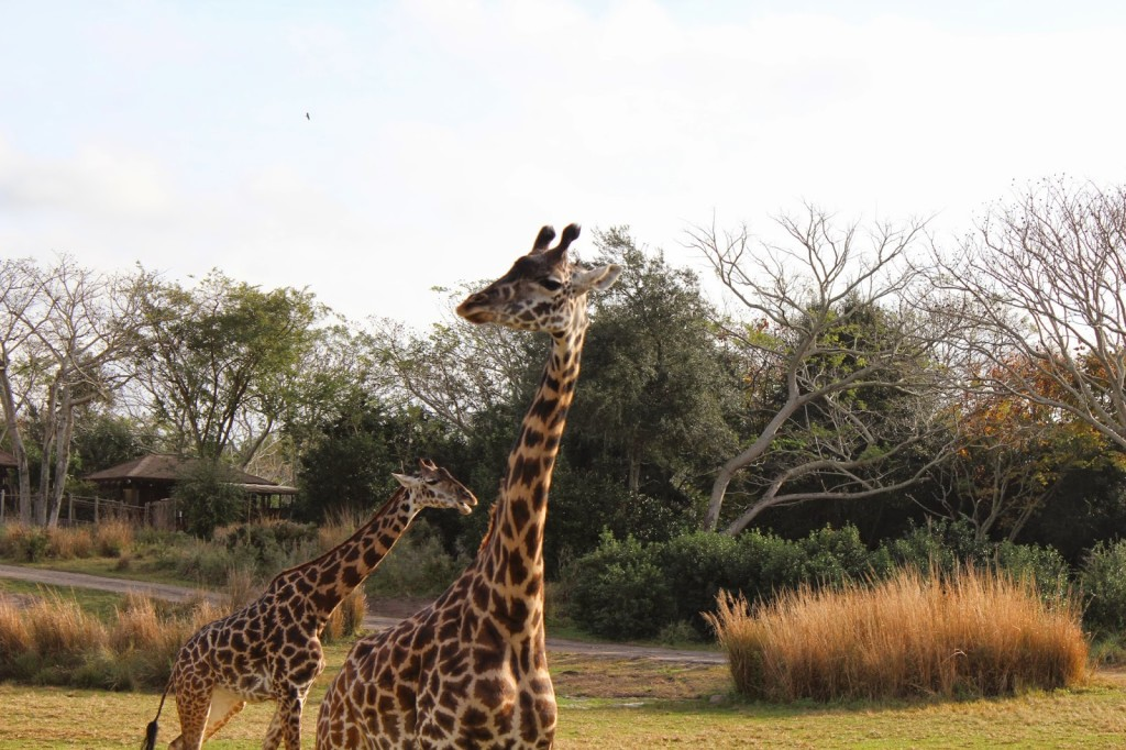Disney World Animal Kingdom Giraffes