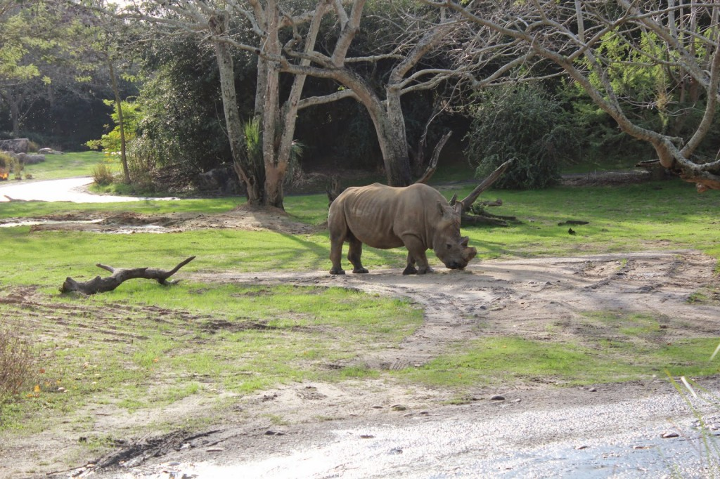 Disney World Animal Kingdom rhino