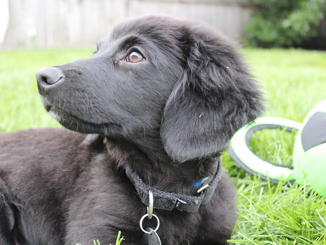 Dachshund Lab mix