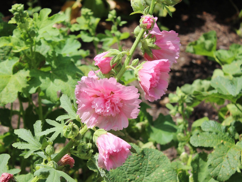 Missouri Botanical Garden Flowers